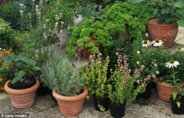rosemary-garden